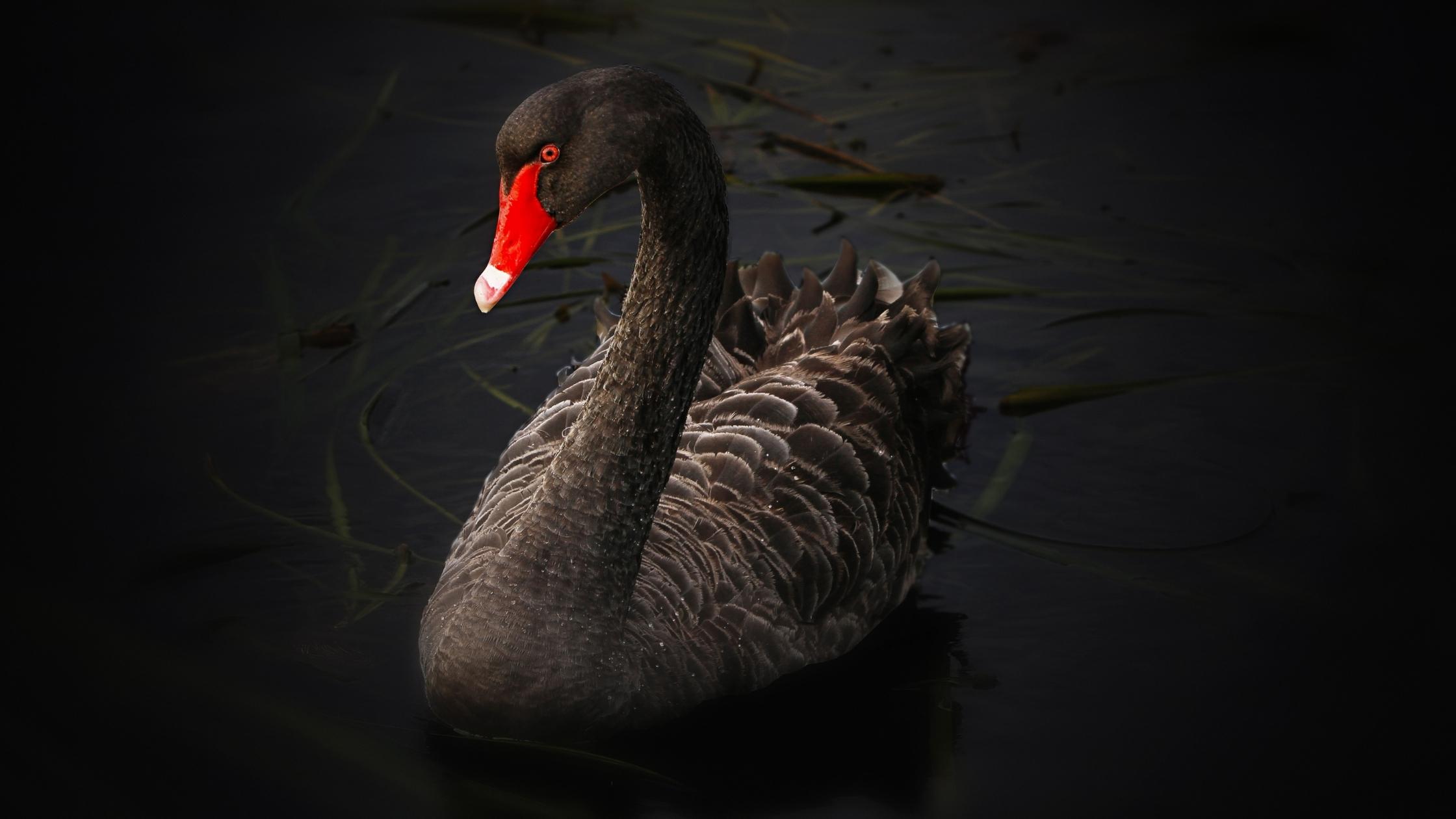 Not A Meerkat Monday #7: Black Swans